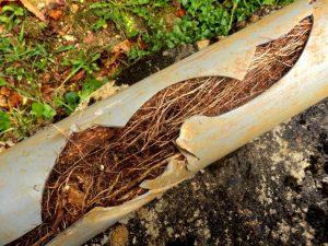 do-trees-break-sewer-lines